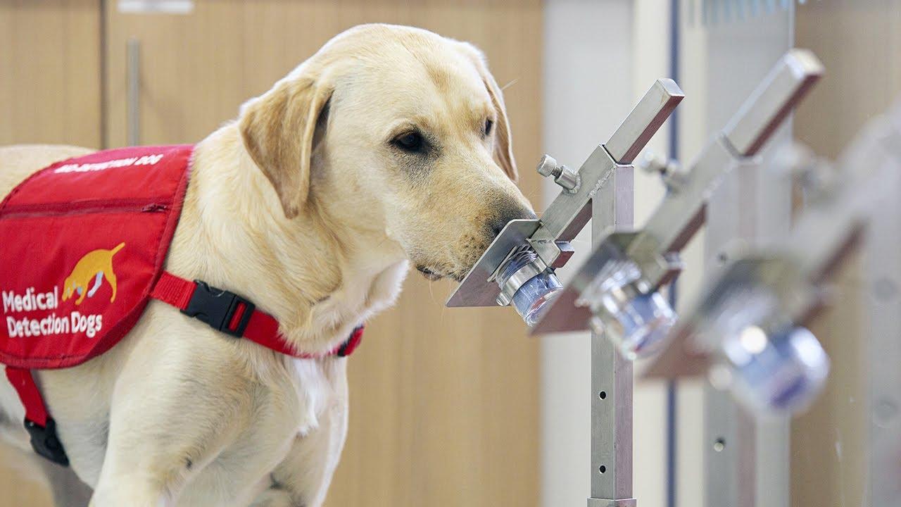 کتے اب کورونا کے مریض کا پتہ چلائیں گے