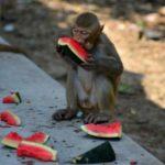 کورونا ویکسین کی بندروں پر آزمائش