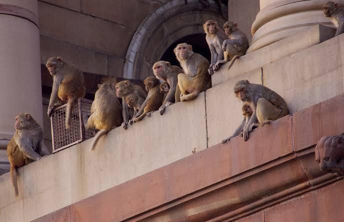 بھوکے بندر کورونا کے مریضوں کے خون کے نمونے لے گئے