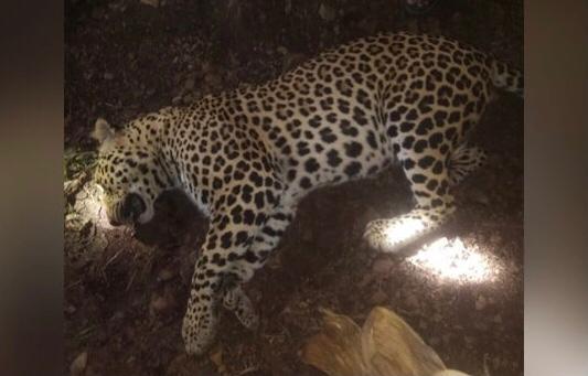 آدم خور چیتے کو مار دیا 8 انسانوں کو کھا کے 9ویں کی تیاری کر رہا تھا