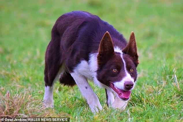 دنیا کا مہنگا ترین کتا 27 ہزار پاونڈ میں فروخت