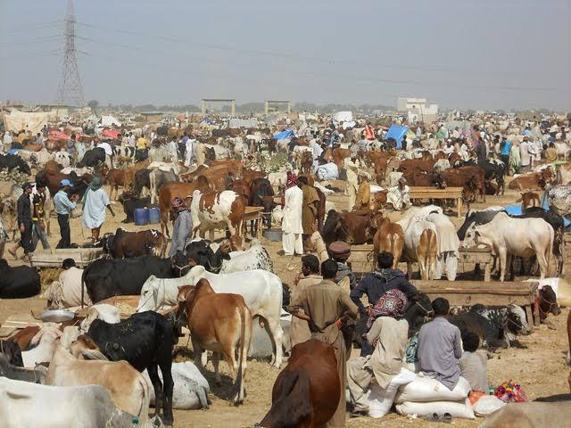 کراچی میں ایشیا کی بڑی مویشی منڈی سج گئی